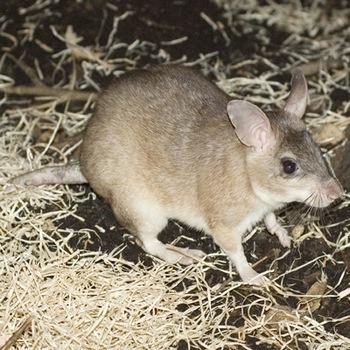 Гигантская прыгающая крыса