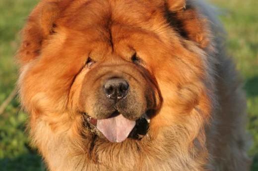 Чау Чау - Опасная собака