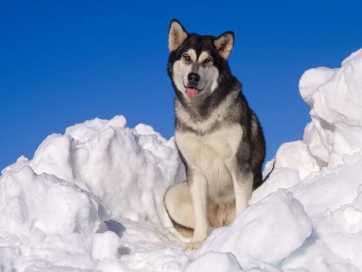 Маламут - Опасная собака
