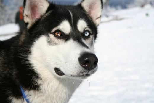 Эскимосская лайка - Опасная собака