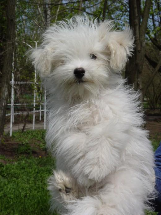 Кинологи вывели первую украинскую породу собак - Одесская домашняя