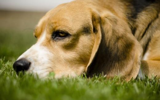 Бигль – поющая собака