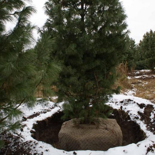 Как правильно посадить хвойные (сосну, ель) - Ландшафтный 43
