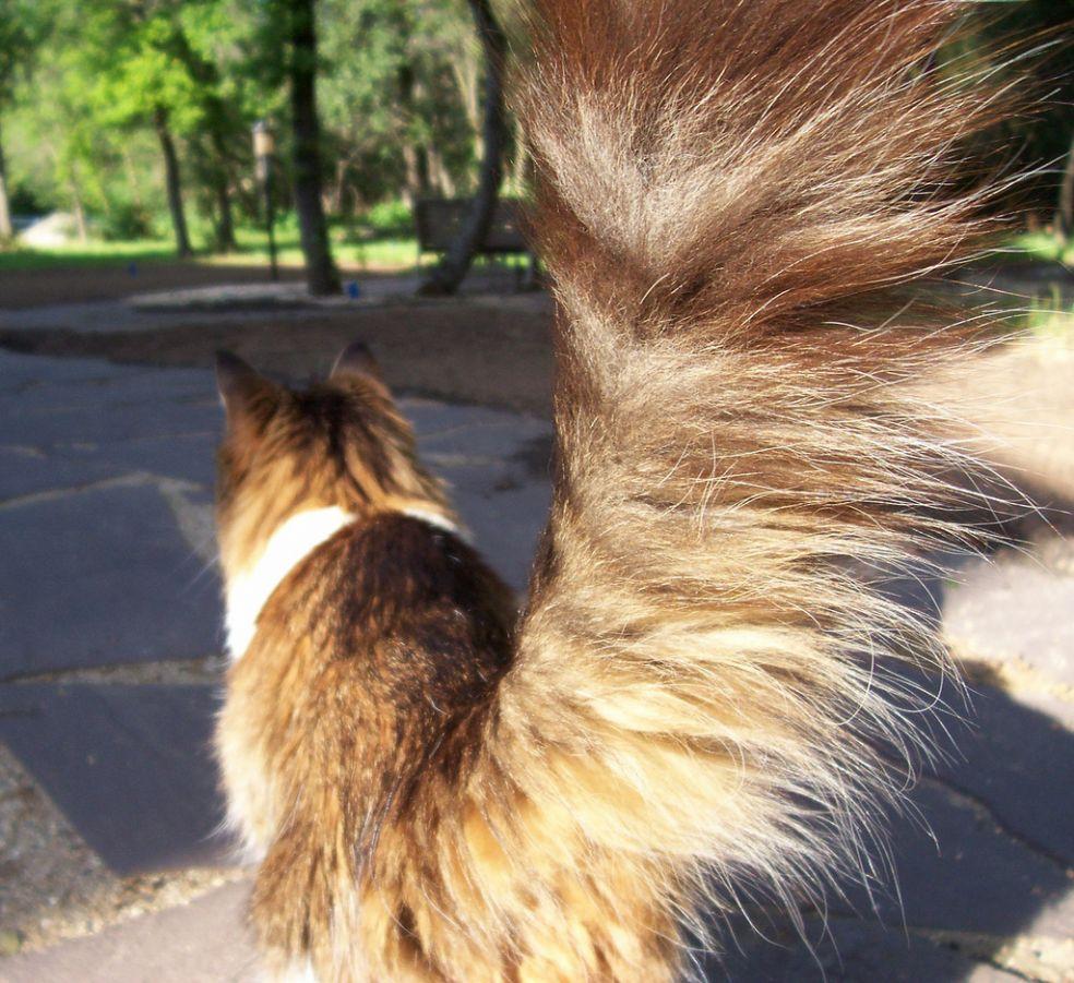 представляют пушистый хвост кота картинка площадка, где общаетесь