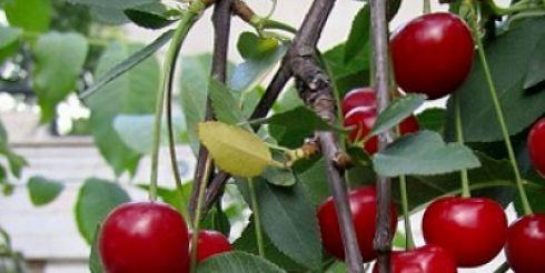 Саженец вишни: инструкция к применению