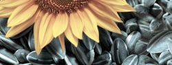 Как выбрать семена подсолнечника