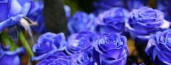 Синие розы — когда оживает сказка