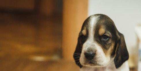 Как выбрать щенка бассет-хаунда?