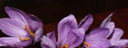Британские ученые: шафран поможет излечиться от рака
