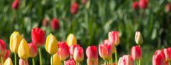 Тюльпаны растения невзыскательные