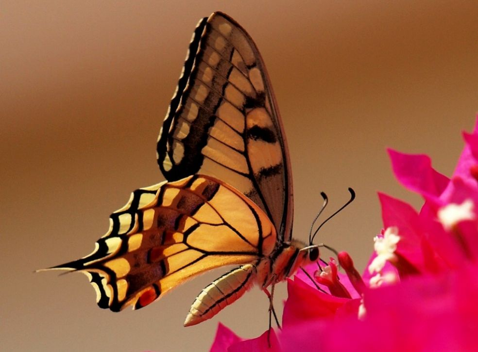 Бабочка Махаон пьет нектар