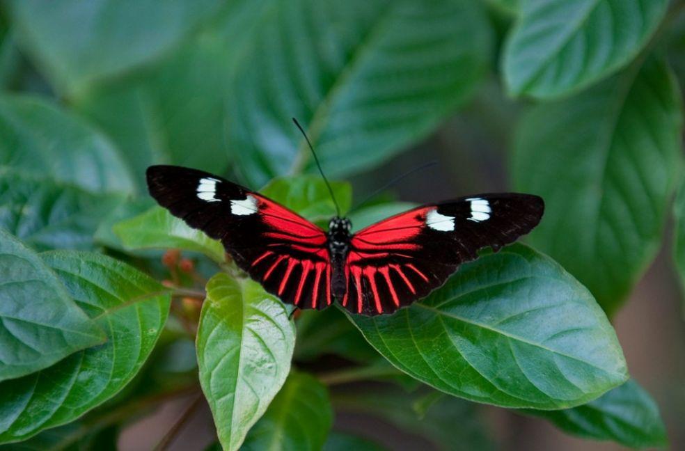 Бабочка Почтальон в Вестминстерском павильоне, США