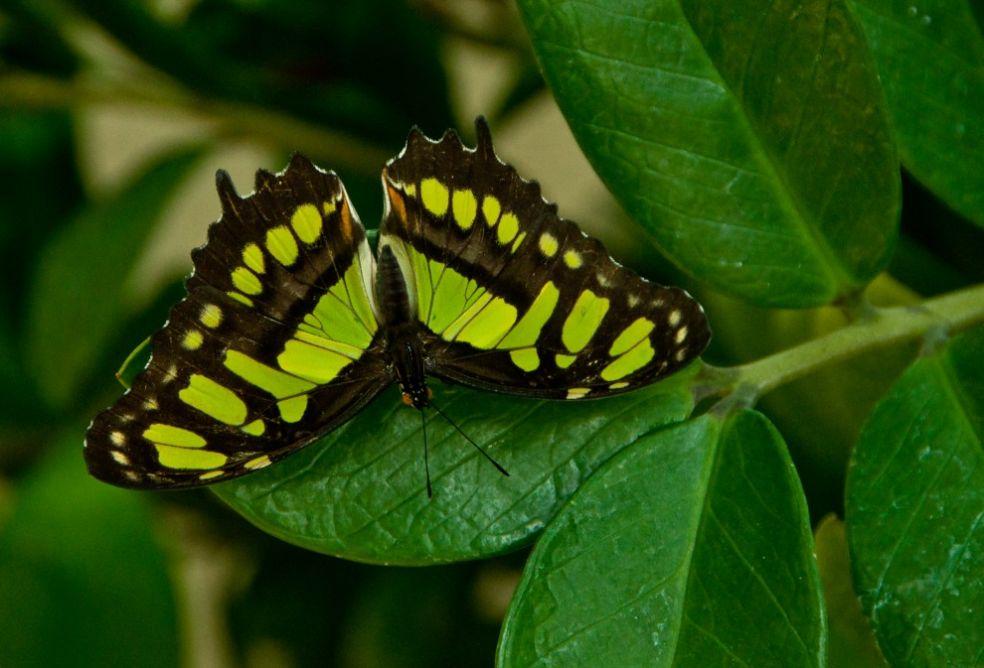 Бабочка в саду Кэллоуэй, США