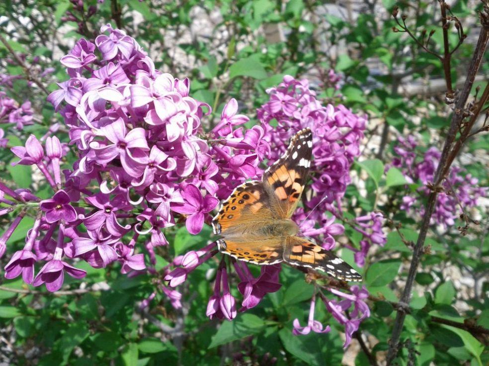 Бабочка на кусте сирени