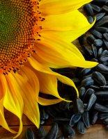 Влияние семечек на организм человека