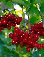 Полезные перекусы: польза и вред калины